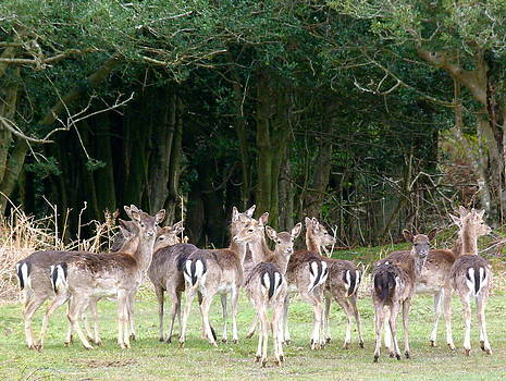 New Forest Deer by Karen Grist