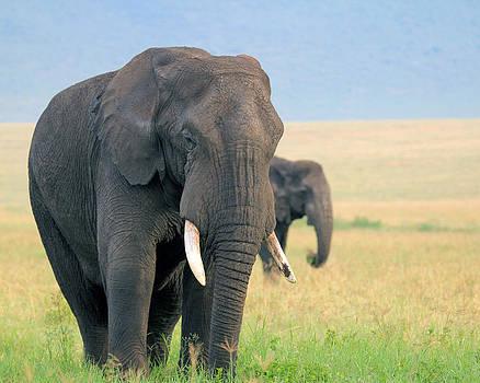 Ngorongoro Elephants by Diane Geddes