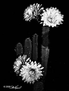 Steve Knievel - Night Cactus Blooms in B-W