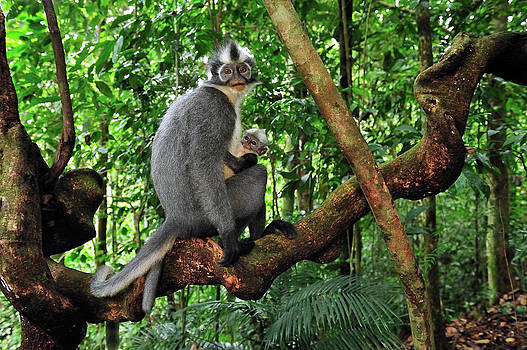 Thomas Marent - North Sumatran Leaf Monkey Presbytis
