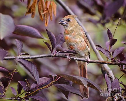 Norther cardinal - Juvenile by Christine Kapler