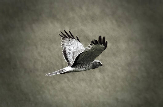Northern Harrier by Tiana McVay