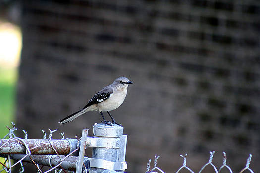 Northern Mockingbird by April Wietrecki Green