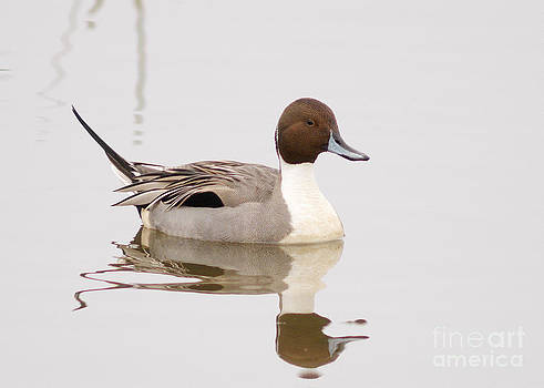 Northern Pintail by Doug Herr