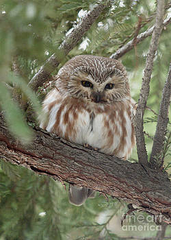 Northern Saw-whet Owl by Doug Herr