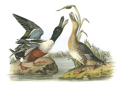 John James Audubon - Northern Shoveler