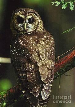 Diane Kurtz - Northern Spotted Owl
