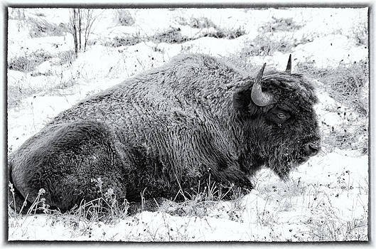 Northern Woodland Buffalo by Steve  Milner