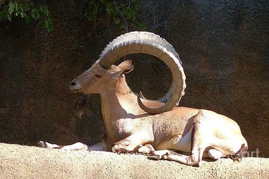 Nubian Ibex 1 by Lorrie Bible