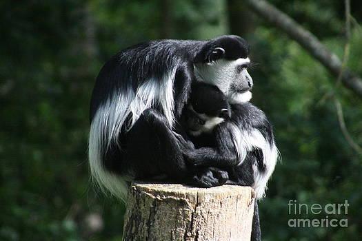 Nursing baby Colobus monkey by Carol Wright
