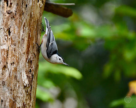 Nuthatch coming down the tree by Healing Woman