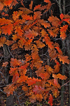 Oak leaves at schram Park. by Randall Templeton