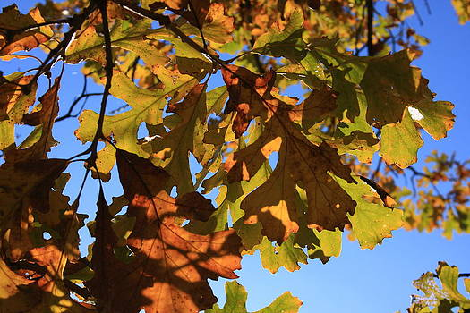 Oak Leaves with Backlighting by Lyle Hatch