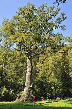 Oak tree by Matthias Hauser