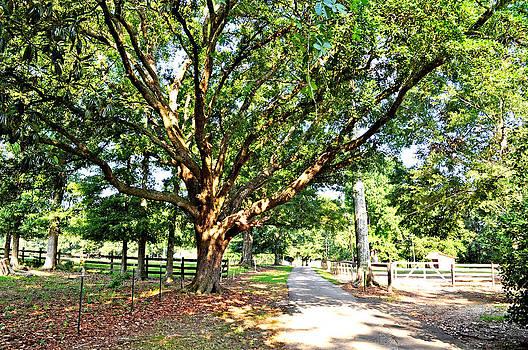 Terry Sita - Oak tree