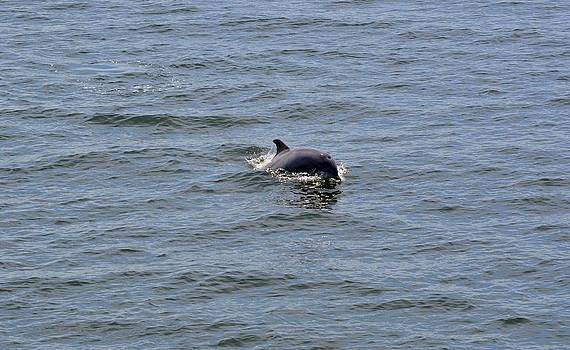 OBX Dolphin by Jeff Moose