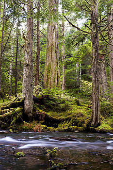 Old Cedar by Brandon Broderick