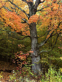 Old Maple by John Wolf