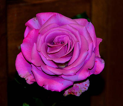 Old Rose by Enrique Rueda