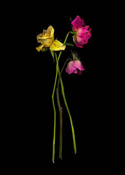 Old Roses 2 by Rod Huling