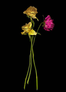 Old Roses  4 by Rod Huling