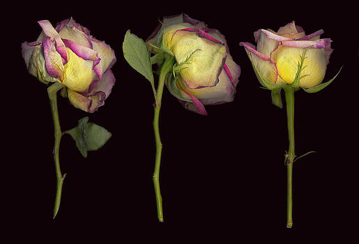 Old Roses 6 by Rod Huling