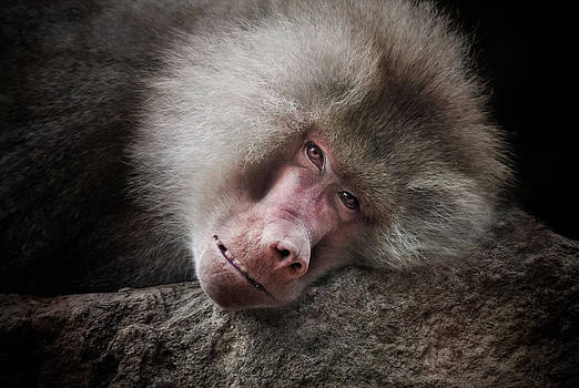 Old World Baboon by Animus Photography