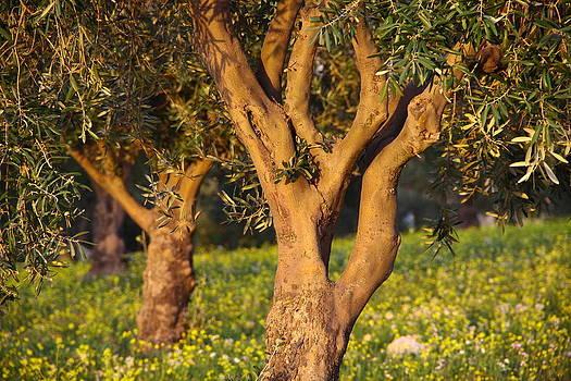 Olive Tree by Adeeb Atwan