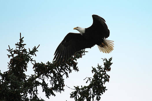 Olympic Bald Eagle by David Yunker