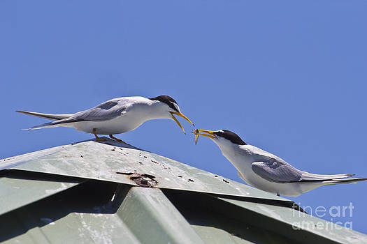 One Good Tern Deserves Another by John Rowe
