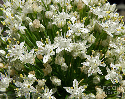 Onion Blossom by Christopher English