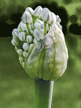 Onion flowering by Jesus Nicolas Castanon
