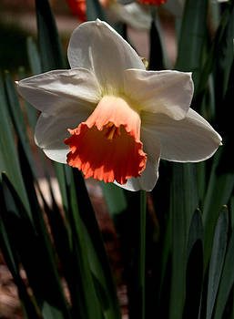 Orange and White Daffodil - 1 by Robert Morin