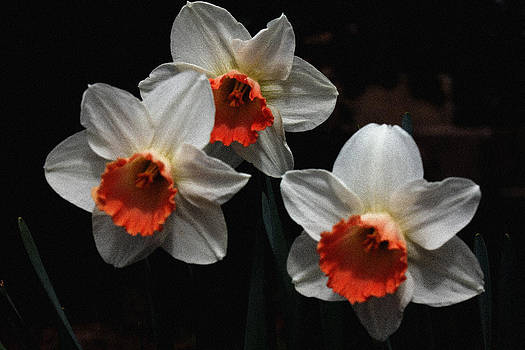 Orange and White Daffodil - 3 by Robert Morin