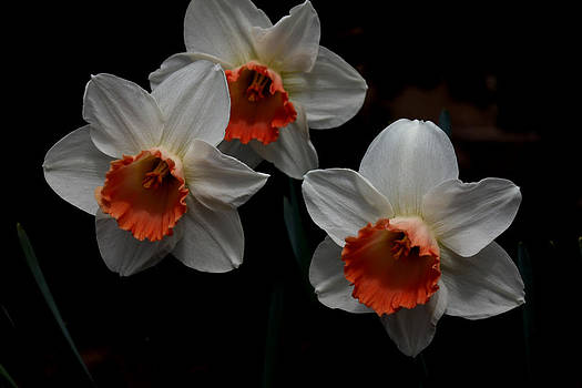 Orange and White Daffodils - 4 by Robert Morin