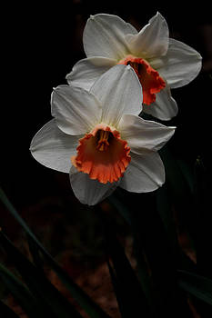 Orange And White Daffodils - 5 by Robert Morin