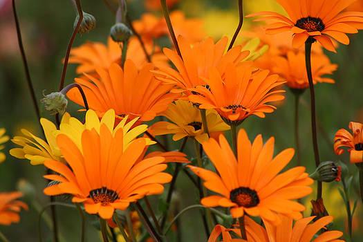 Deborah Hall Barry - Orange and Yellow Daisies