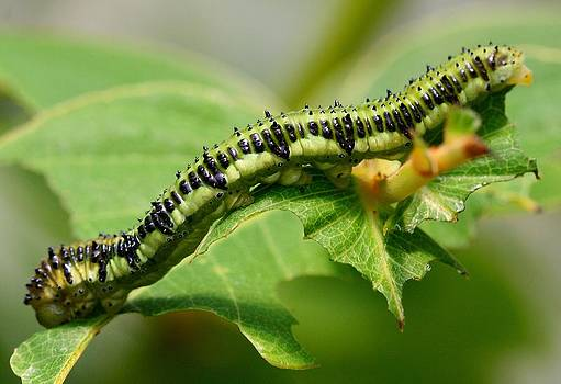 Orange Barred Sulphur Caterpillar by April Wietrecki Green