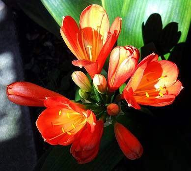 Orange Blooms in Light and Shadow 1 by Eve Paludan