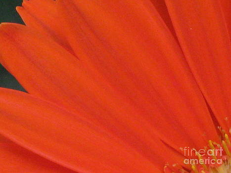 Orange Burst by Donna Renier