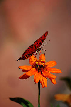 Orange Butterfly Orange Flower by Lori Tambakis