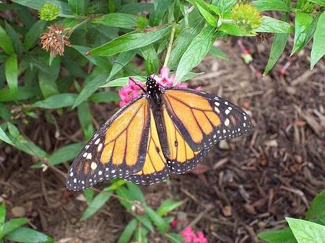 Orange Butterfly by Shane Brumfield