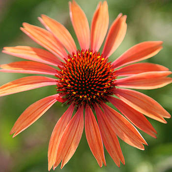 Orange Coneflower by Donna Corless