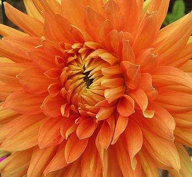 Orange Dahlia by Ami Tirana