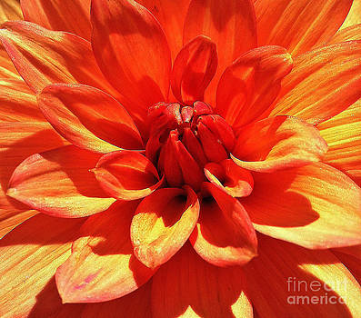 Orange Dahlia  by Daniele Smith