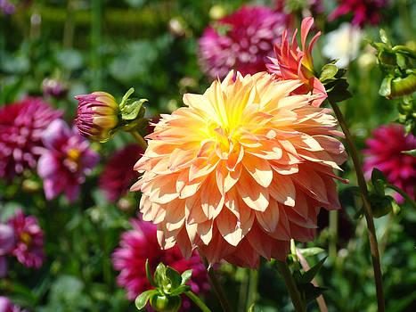 Baslee Troutman - Orange Dahlia Flower Floral Fine Art Photography