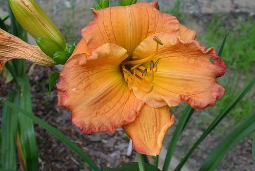 Orange Daylily by Jim Ziemer