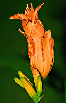 Michelle Cruz - Orange Lily Bud