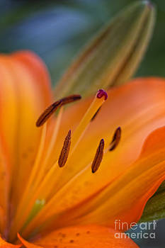 Orange Lily by David Ricketts