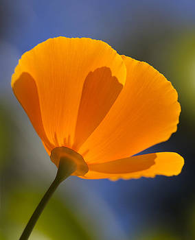 Orange Mexican Poppy blossom by Bryan Allen